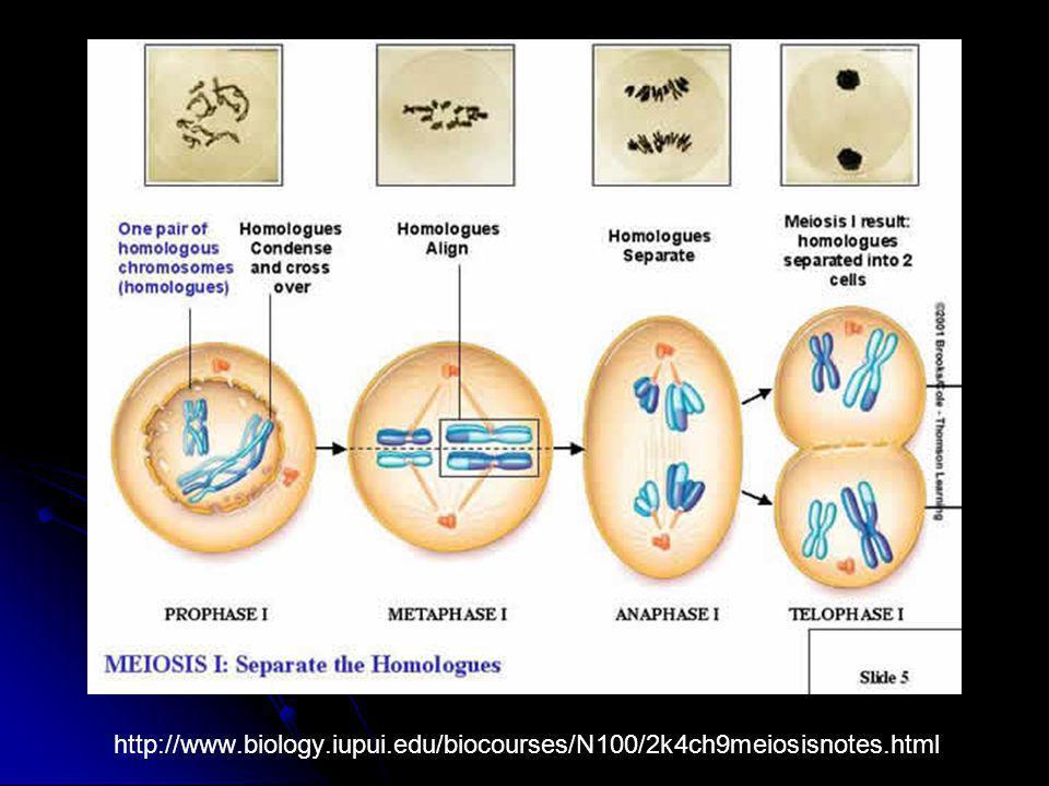 http://www.biology.iupui.edu/biocourses/N100/2k4ch9meiosisnotes.html