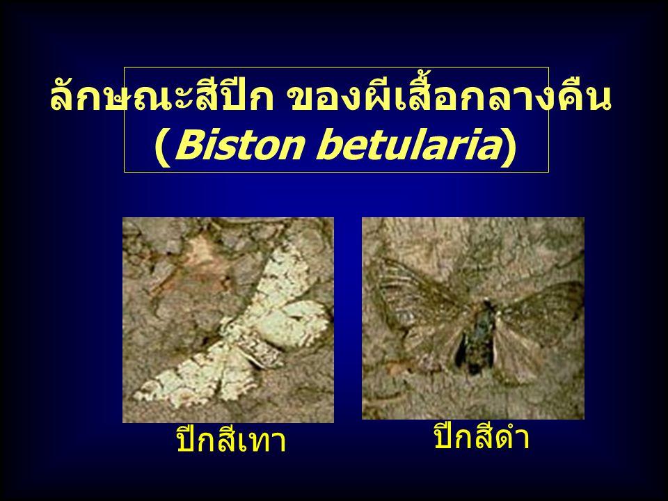 ลักษณะสีปีก ของผีเสื้อกลางคืน (Biston betularia) ปีกสีเทา ปีกสีดำ
