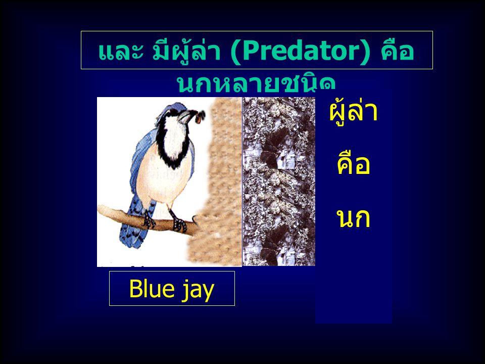 และ มีผู้ล่า (Predator) คือ นกหลายชนิด ผู้ล่า คือ นก Blue jay