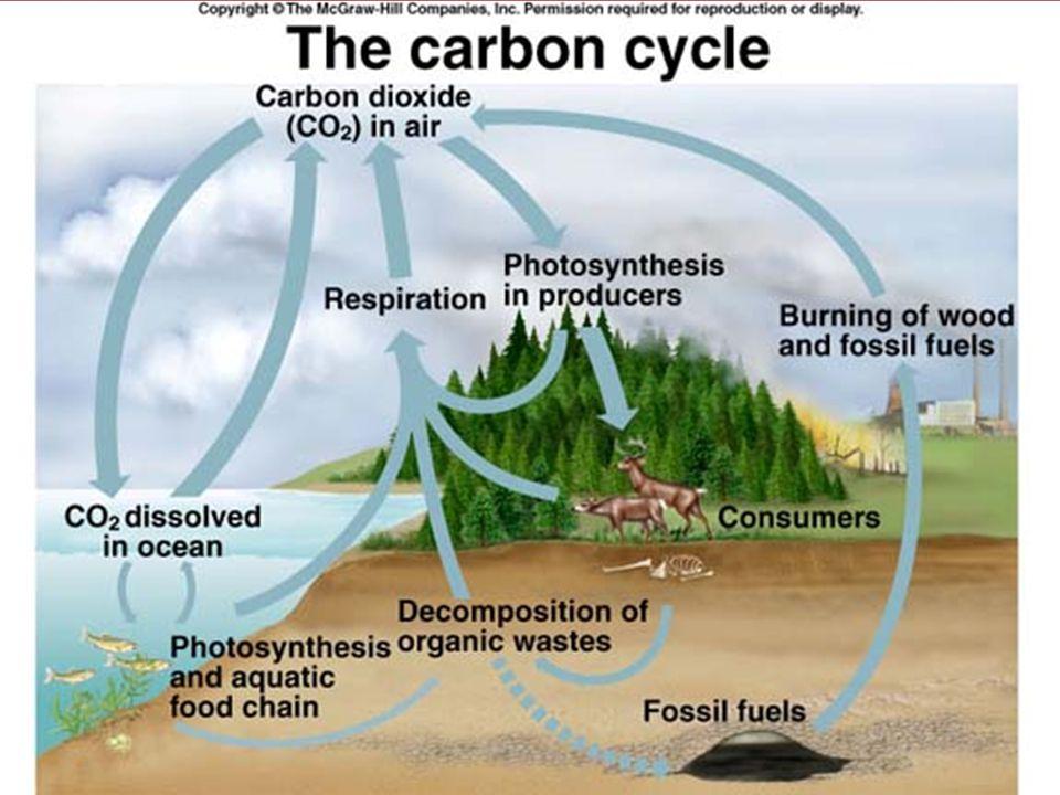 •Carbon อาจถูกเก็บในรูป สารประกอบกับ Ca เป็น CaCO 3 ซึ่ง พบได้ในสิ่งมีชีวิต และหินปูน •Bacteria บางชนิดสามารถปรับ สภาพแวดล้อมเป็นด่าง ซึ่งจะทำให้ CaCO 3 ละลายเป็นรูป HCO 3 - /CO 3 2- Carbon-Oxygen Cycle