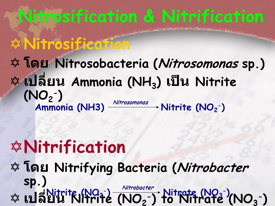 Ammonification  โดย Ammonifying Bacteria –Pseudomonas –Proteus –Micrococcus  เปลี่ยน Metabolic Waste, Amino Acid หรือ Protein เป็น Ammonia (NH 3 ).
