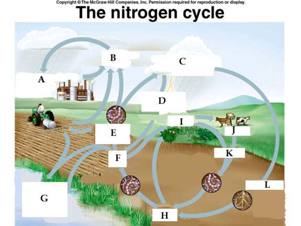 Denitrification ลดความเข้มข้นของ Nitrate ในดินและใน น้ำ ความอุดมสมบูรณ์ของดินต่ำลง (Nitrate ในรูปที่พืชสามารถนำไปใช้ได้น้อยลง ) ความเข้มข้นของ NO 3 ไม่มากจนเป็น อันตรายต่อพืชและสัตว์น้ำ
