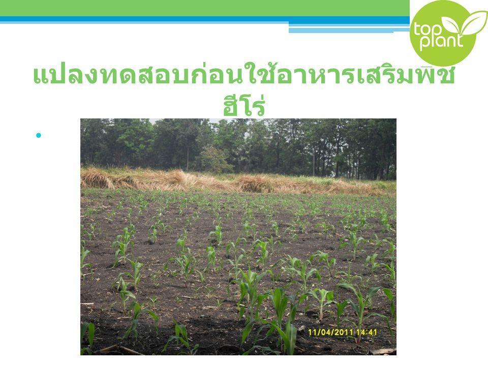 แปลงทดสอบหลังใช้อาหารเสริมพืช ฮีโร่ 14 วัน
