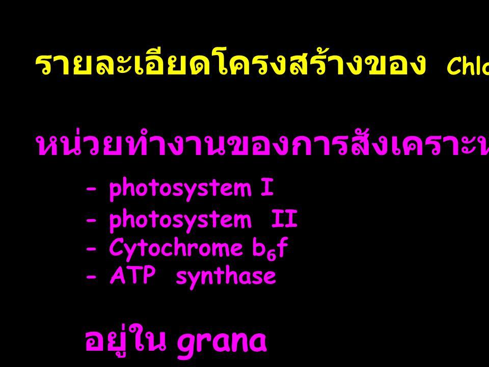 รายละเอียดโครงสร้างของ Chloroplast หน่วยทำงานของการสังเคราะห์แสง - photosystem I - photosystem II - Cytochrome b 6 f - ATP synthase อยู่ใน grana