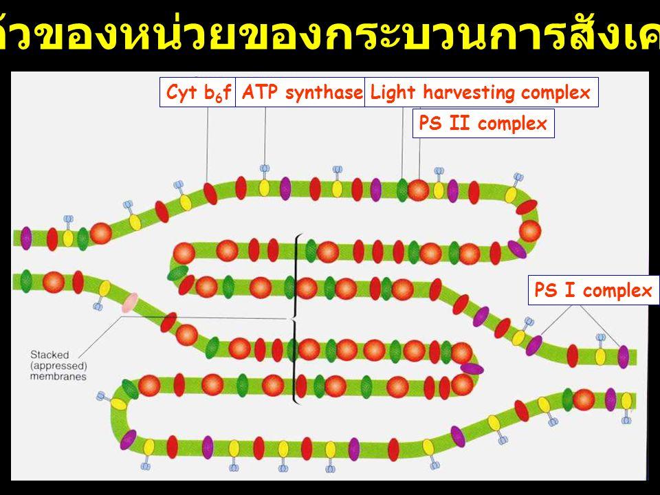 Cyt b 6 fATP synthaseLight harvesting complex PS I complex PS II complex การเรียงตัวของหน่วยของกระบวนการสังเคราะห์แสง