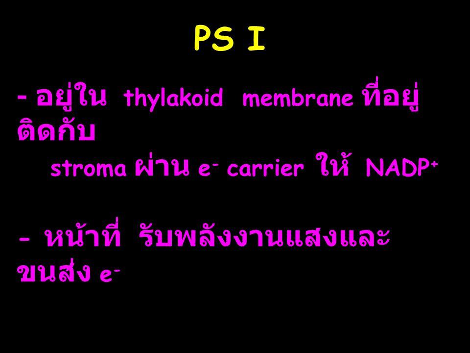 PS I - อยู่ใน thylakoid membrane ที่อยู่ ติดกับ stroma ผ่าน e - carrier ให้ NADP + - หน้าที่ รับพลังงานแสงและ ขนส่ง e -
