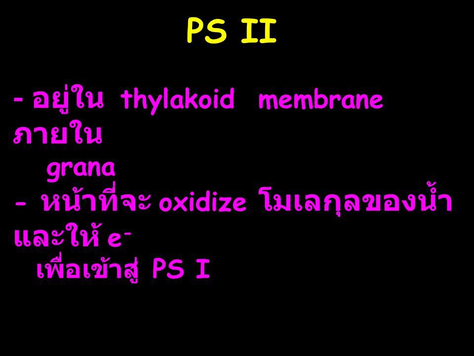 PS II - อยู่ใน thylakoid membrane ภายใน grana - หน้าที่จะ oxidize โมเลกุลของน้ำ และให้ e - เพื่อเข้าสู่ PS I