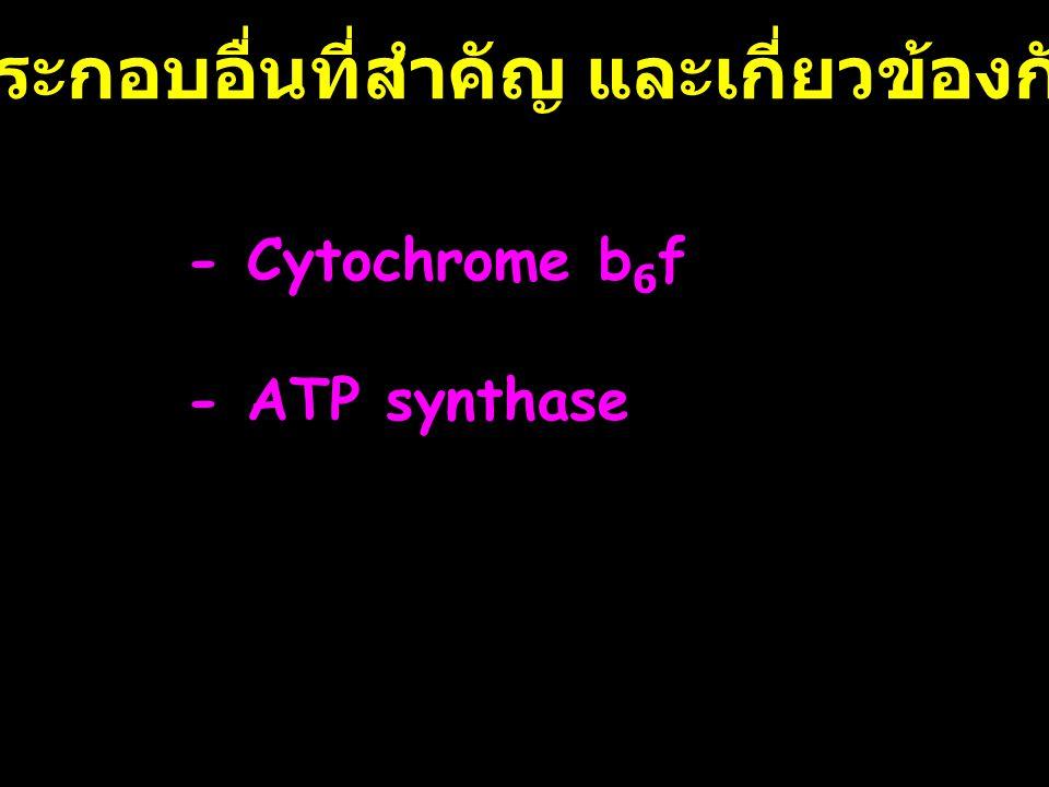 องค์ประกอบอื่นที่สำคัญ และเกี่ยวข้องกับ PS - Cytochrome b 6 f - ATP synthase