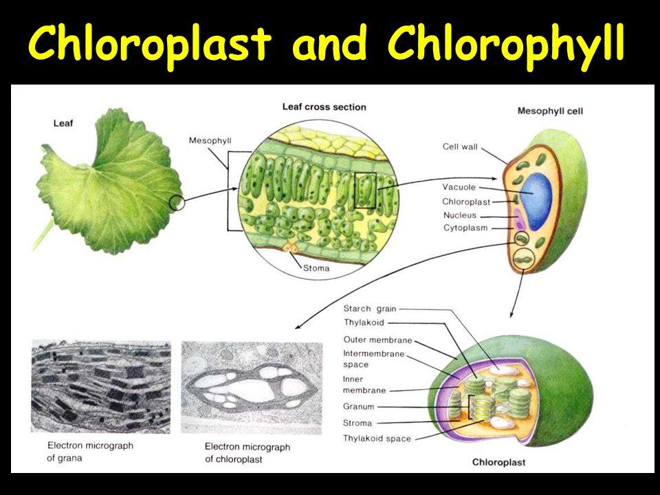 Chloroplast and Chlorophyll
