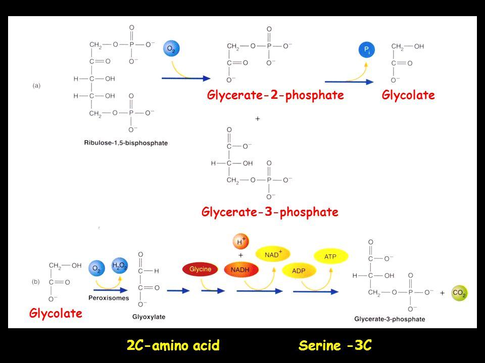2C-amino acid Serine -3C Glycerate-2-phosphate Glycerate-3-phosphate Glycolate
