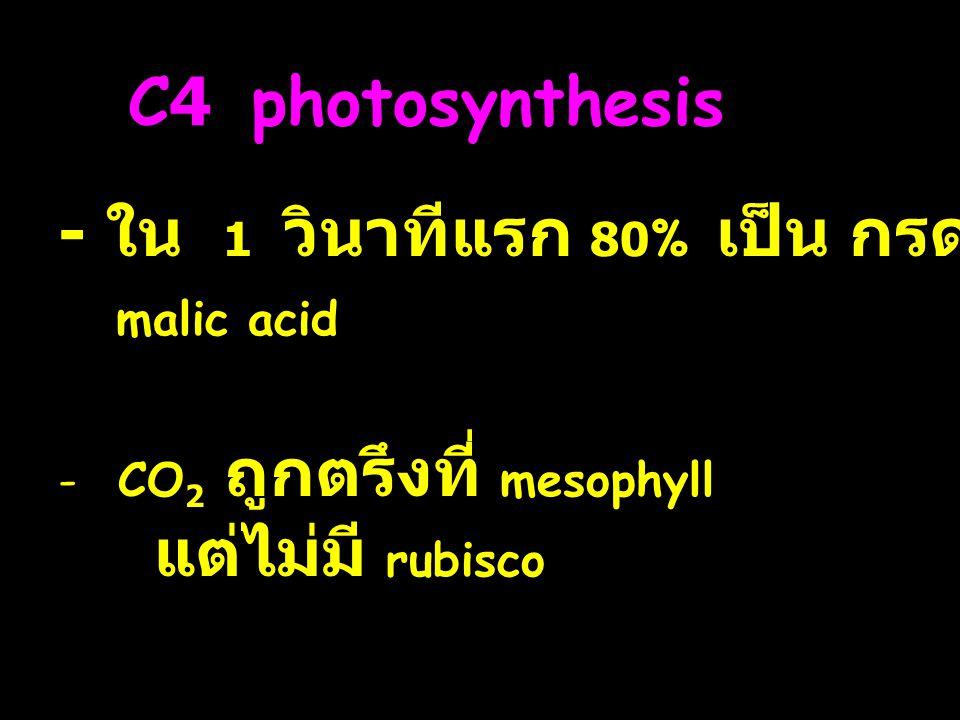 C4 photosynthesis - ใน 1 วินาทีแรก 80% เป็น กรด 4C malic acid - CO 2 ถูกตรึงที่ mesophyll แต่ไม่มี rubisco