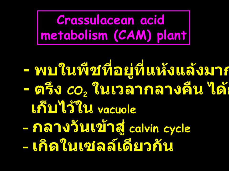 Crassulacean acid metabolism (CAM) plant - พบในพืชที่อยู่ที่แห้งแล้งมาก - ตรึง CO 2 ในเวลากลางคืน ได้กรด 4C เก็บไว้ใน vacuole - กลางวันเข้าสู่ calvin