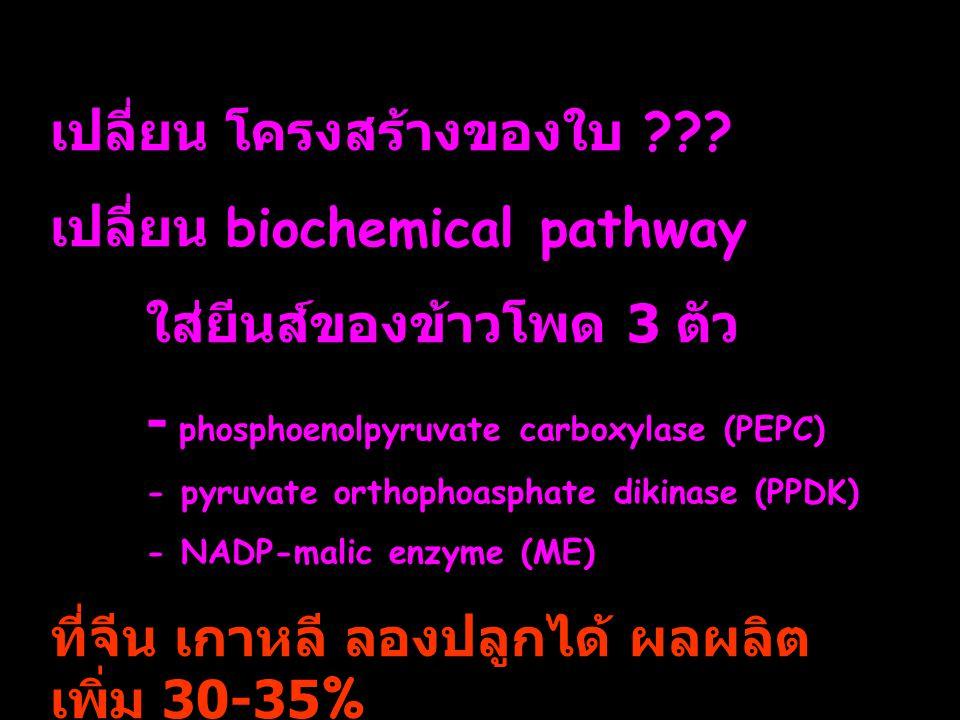 เปลี่ยน โครงสร้างของใบ ??? เปลี่ยน biochemical pathway ใส่ยีนส์ของข้าวโพด 3 ตัว - phosphoenolpyruvate carboxylase (PEPC) - pyruvate orthophoasphate di