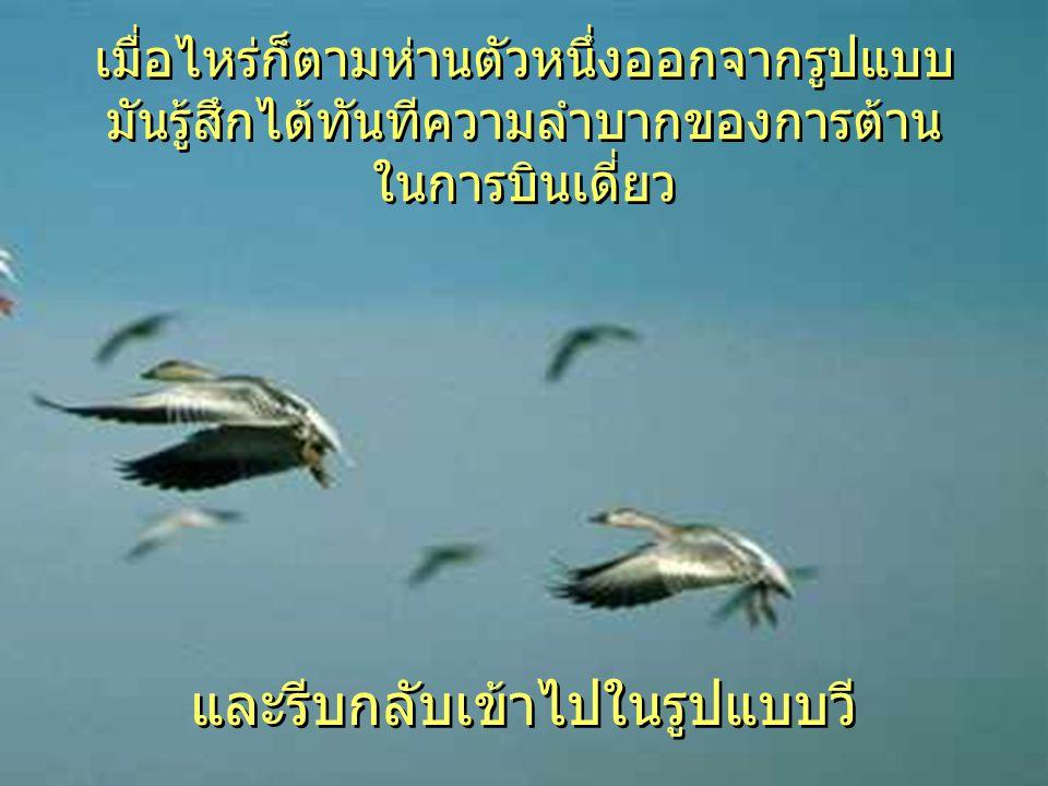 ขณะที่นกแต่ละตัวขยับปีกของมันช่วย ให้นกที่บินตามไปได้ ดันให้ขึ้น การบินแบบตัววี ทำให้ฝูงสามารถ บินได้ไกลกว่า 71% มากกว่านกแต่ละ ตัวบินเดี่ยว
