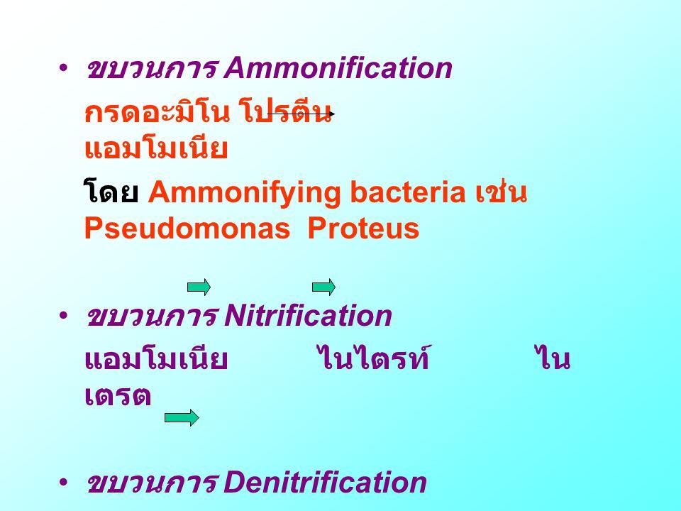 • ขบวนการ Ammonification กรดอะมิโน โปรตีน แอมโมเนีย โดย Ammonifying bacteria เช่น Pseudomonas Proteus • ขบวนการ Nitrification แอมโมเนีย ไนไตรท์ ไน เตร