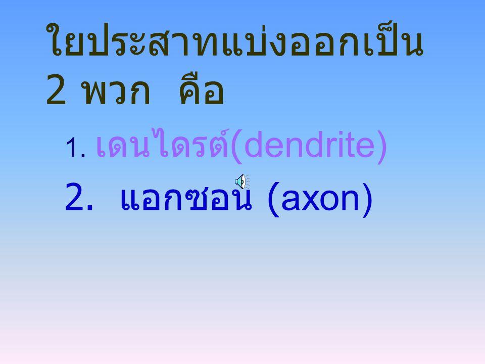 ใยประสาทแบ่งออกเป็น 2 พวก คือ 1. เดนไดรต์ (dendrite) 2. แอกซอน (axon)