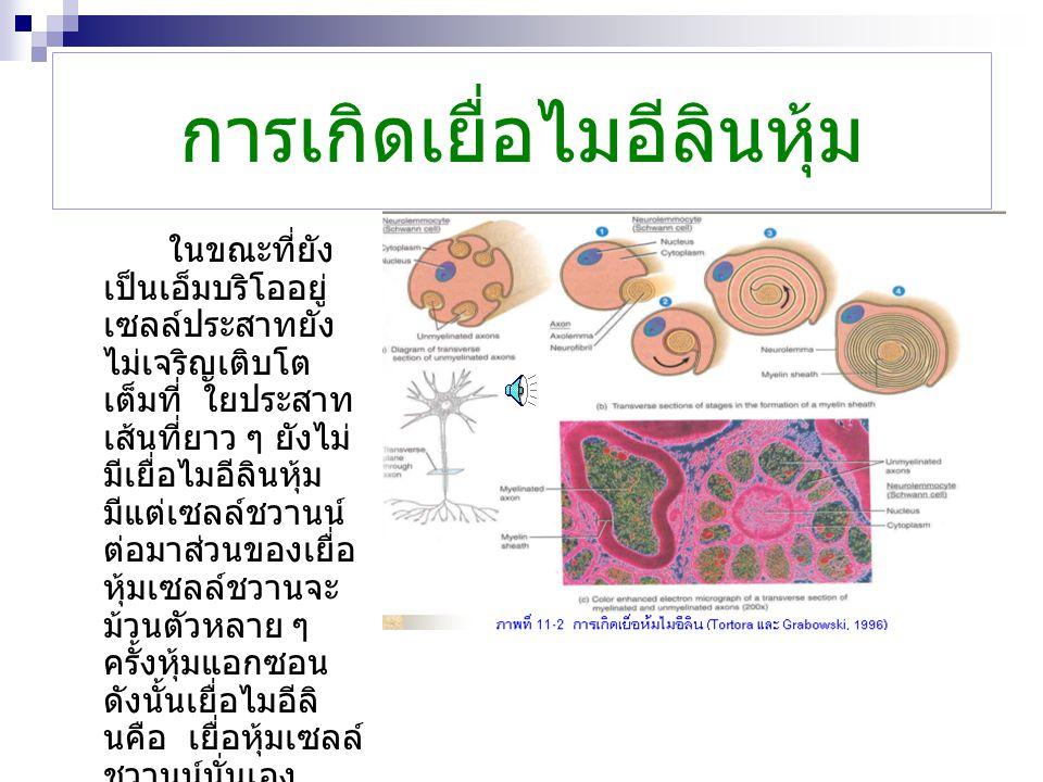 การเกิดเยื่อไมอีลินหุ้ม ในขณะที่ยัง เป็นเอ็มบริโออยู่ เซลล์ประสาทยัง ไม่เจริญเติบโต เต็มที่ ใยประสาท เส้นที่ยาว ๆ ยังไม่ มีเยื่อไมอีลินหุ้ม มีแต่เซลล์ชวานน์ ต่อมาส่วนของเยื่อ หุ้มเซลล์ชวานจะ ม้วนตัวหลาย ๆ ครั้งหุ้มแอกซอน ดังนั้นเยื่อไมอีลิ นคือ เยื่อหุ้มเซลล์ ชวานน์นั่นเอง