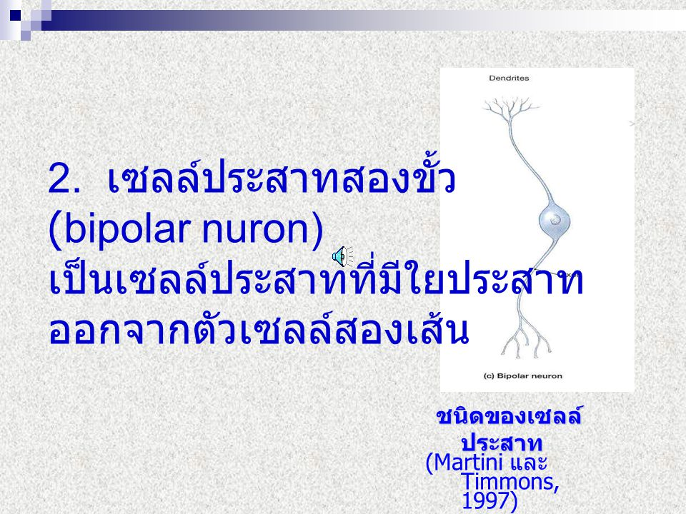 2. เซลล์ประสาทสองขั้ว (bipolar nuron) เป็นเซลล์ประสาทที่มีใยประสาท ออกจากตัวเซลล์สองเส้น ชนิดของเซลล์ ประสาท ชนิดของเซลล์ ประสาท (Martini และ Timmons,