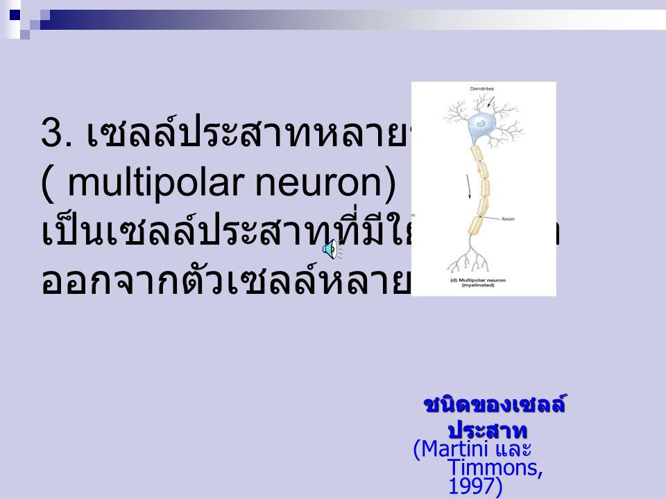 3. เซลล์ประสาทหลายขั้ว ( multipolar neuron) เป็นเซลล์ประสาทที่มีใยประสาท ออกจากตัวเซลล์หลายเส้น ชนิดของเซลล์ ประสาท ชนิดของเซลล์ ประสาท (Martini และ T