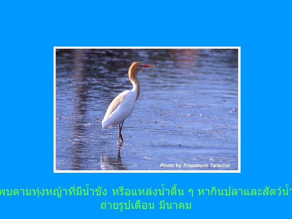พบตามทุ่งหญ้าที่มีน้ำขัง หรือแหล่งน้ำตื้น ๆ หากินปลาและสัตว์น้ำ ถ่ายรูปเดือน มีนาคม