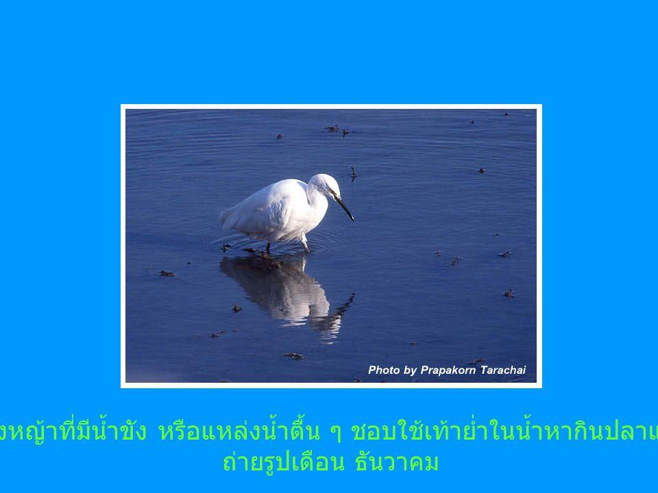 พบตามทุ่งหญ้าที่มีน้ำขัง หรือแหล่งน้ำตื้น ๆ ชอบใช้เท้าย่ำในน้ำหากินปลาและสัตว์น้ำ ถ่ายรูปเดือน ธันวาคม