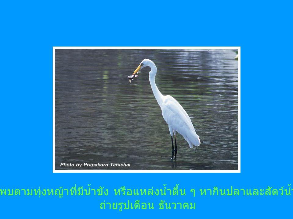 พบตามทุ่งหญ้าที่มีน้ำขัง หรือแหล่งน้ำตื้น ๆ หากินปลาและสัตว์น้ำ ถ่ายรูปเดือน ธันวาคม