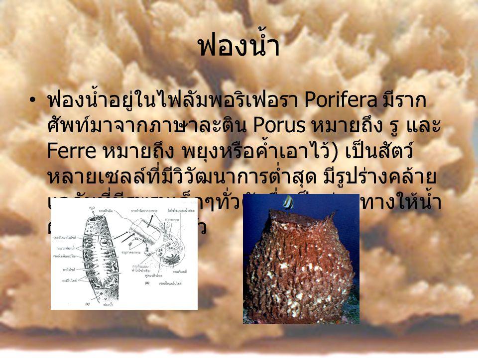 ฟองน้ำ •ฟ•ฟองน้ำอยู่ในไฟลัมพอริเฟอรา Porifera มีราก ศัพท์มาจากภาษาละติน Porus หมายถึง รู และ Ferre หมายถึง พยุงหรือค้ำเอาไว้ ) เป็นสัตว์ หลายเซลล์ที่ม