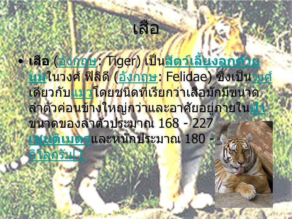 เสือ • เสือ ( อังกฤษ : Tiger) เป็นสัตว์เลี้ยงลูกด้วย นมในวงศ์ ฟิลิดี ( อังกฤษ : Felidae) ซึ่งเป็นวงศ์ เดียวกับแมวโดยชนิดที่เรียกว่าเสือมักมีขนาด ลำตัว