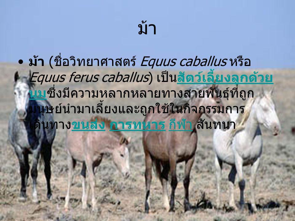 ม้า • ม้า ( ชื่อวิทยาศาสตร์ Equus caballus หรือ Equus ferus caballus) เป็นสัตว์เลี้ยงลูกด้วย นมซึ่งมีความหลากหลายทางสายพันธุ์ที่ถูก มนุษย์นำมาเลี้ยงแล