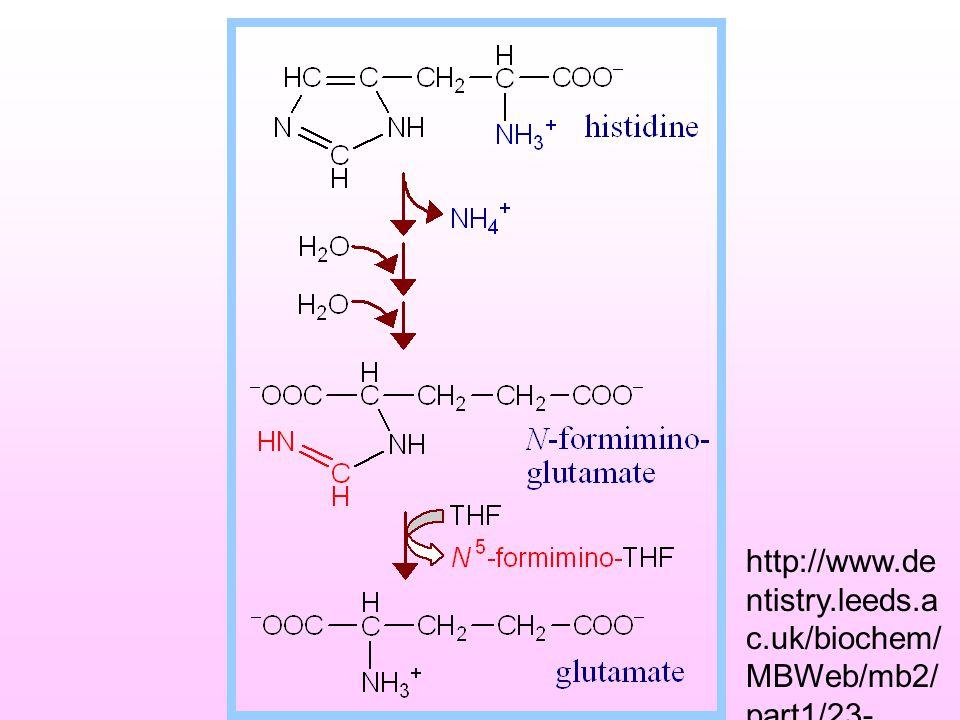 2. กรดอะมิโนที่สลายให้  - KG Pro dehydropr oline H2OH2O glutamate-  - semiald Gl u  - KG Arg Orn His ใช้ 4 ขั้นตอน Forminonoglu-- > Formimino gr. t