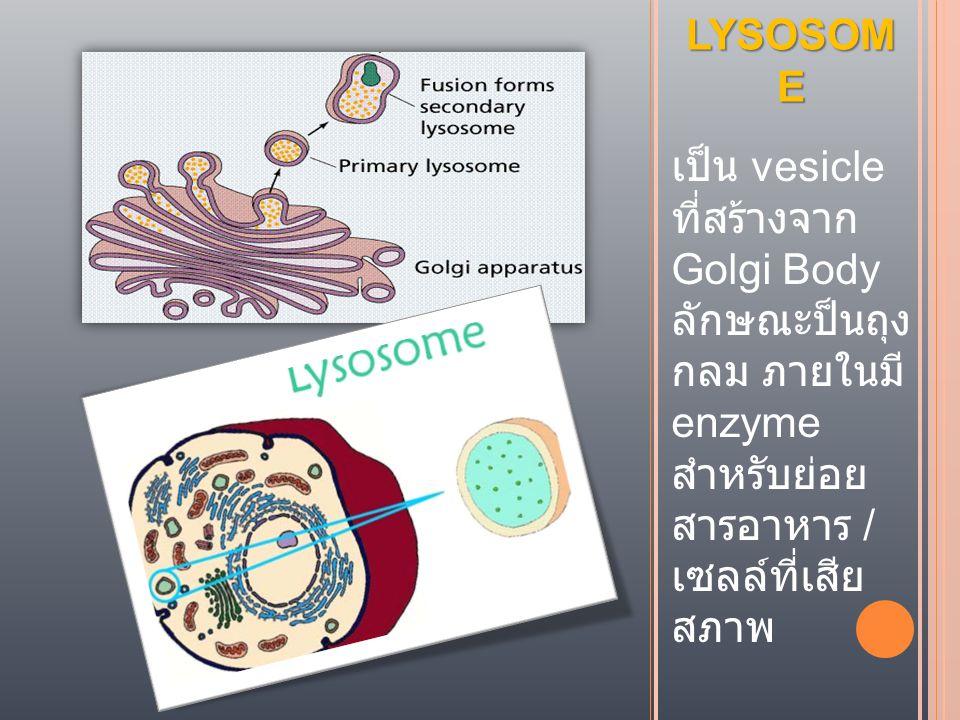 LYSOSOM E เป็น vesicle ที่สร้างจาก Golgi Body ลักษณะป็นถุง กลม ภายในมี enzyme สำหรับย่อย สารอาหาร / เซลล์ที่เสีย สภาพ