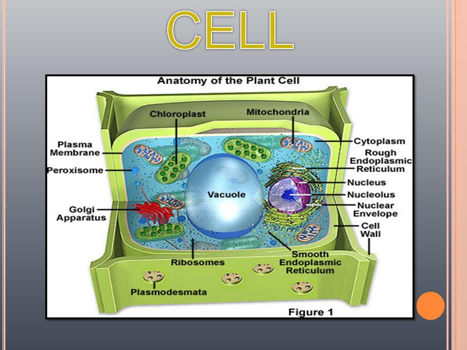 RIBOSO ME  สังเคราะห์ โปรตีนใช้ ภายใน เซลล์  พบใน cytoplasm, RER, nuclear membrane, mitochond ria, chloroplas t
