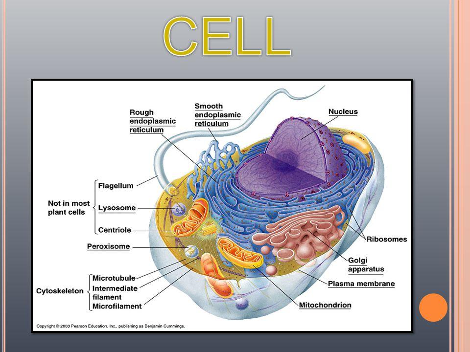 CENTRIOL E  ช่วยในการ เคลื่อนที่ของ Chromosom e และแยก Chromatid แต่ละคู่ออก จากกัน  สร้าง Mitotic Spindle, Basal Body Flagellum, Cilia