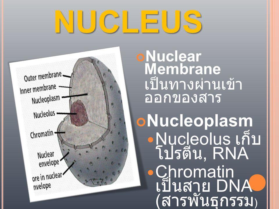 NUCLEUS Nuclear Membrane เป็นทางผ่านเข้า ออกของสาร Nucleoplasm  Nucleolus เก็บ โปรตีน, RNA  Chromatin เป็นสาย DNA ( สารพันธุกรรม )