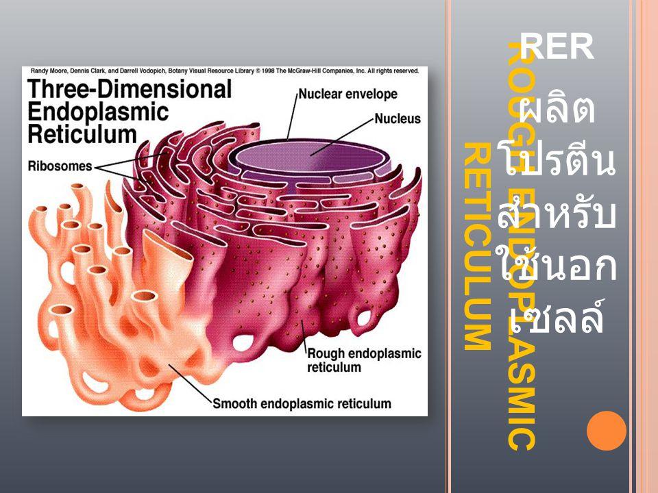 ROUGH ENDOPLASMIC RETICULUM RER ผลิต โปรตีน สำหรับ ใช้นอก เซลล์