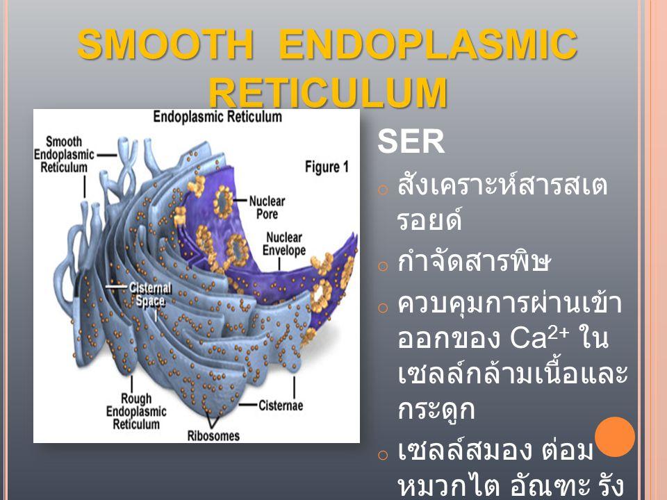 SMOOTH ENDOPLASMIC RETICULUM SER o สังเคราะห์ สารสเตรอยด์ o กำจัดสารพิษ o ควบคุมการผ่านเข้า ออกของ Ca 2+ ใน เซลล์กล้ามเนื้อและ กระดูก o เซลล์สมอง ต่อม หมวกไต อัณฑะ รัง ไข่