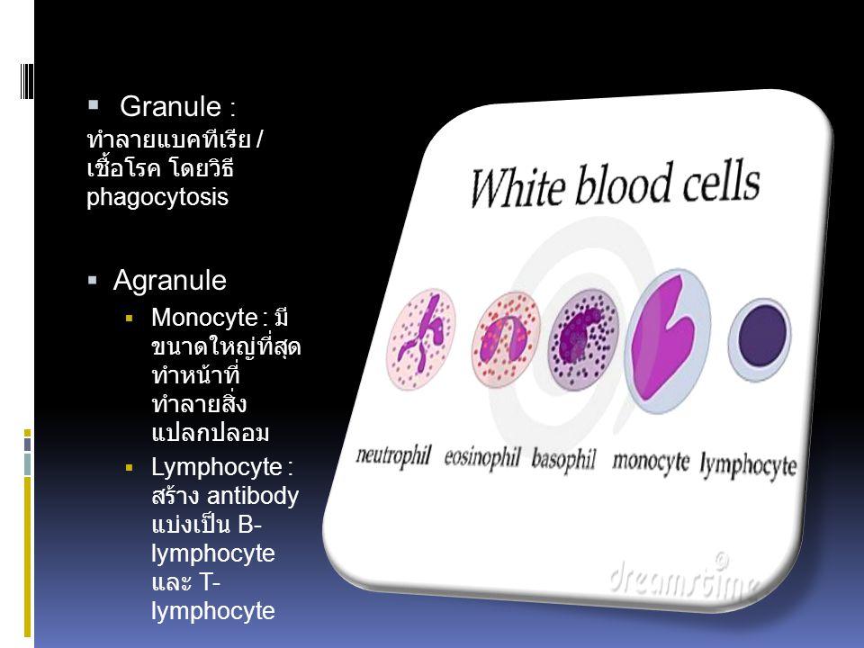  Granule : ทำลายแบคทีเรีย / เชื้อโรค โดยวิธี phagocytosis  Agranule  Monocyte : มี ขนาดใหญ่ที่สุด ทำหน้าที่ ทำลายสิ่ง แปลกปลอม  Lymphocyte : สร้าง