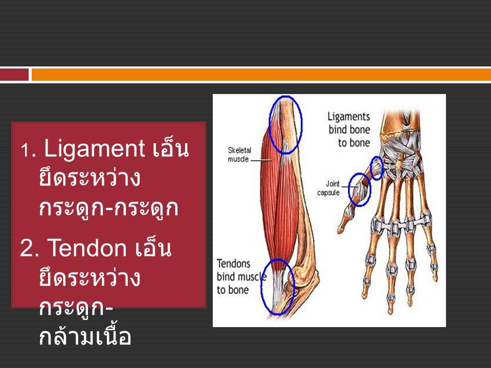 1. Ligament เอ็น ยึดระหว่าง กระดูก - กระดูก 2. Tendon เอ็น ยึดระหว่าง กระดูก - กล้ามเนื้อ