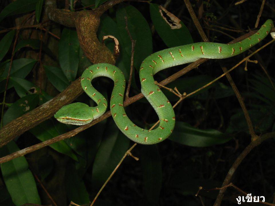 งูเขียว ตุ๊กแก