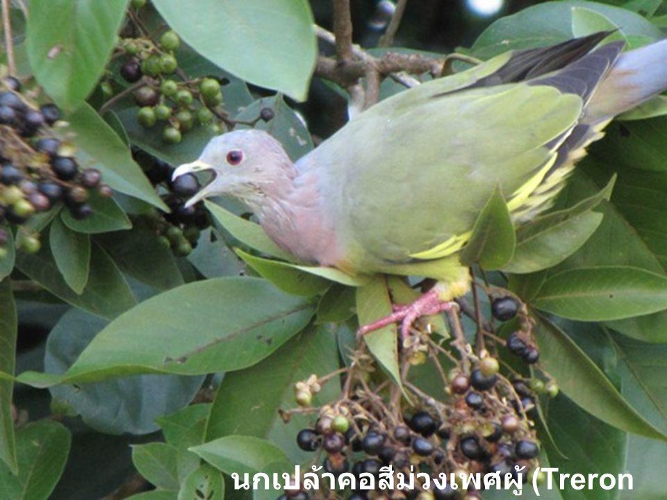 นกเปล้าคอสีม่วงเพศผู้ (Treron vernans)