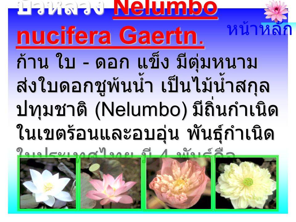 บัวหลวง Nelumbo nucifera Gaertn.
