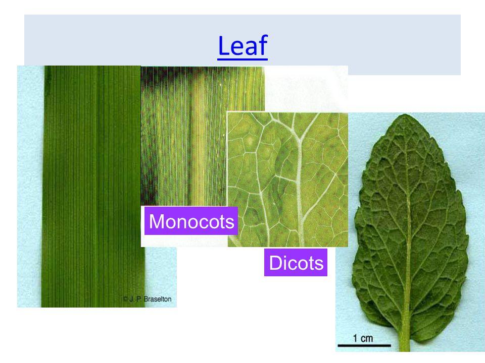 การลำเลียงน้ำของพืช • แรงดันราก (Root pressure) • แรงดึงจากการคายน้ำ (Transpiration pull)
