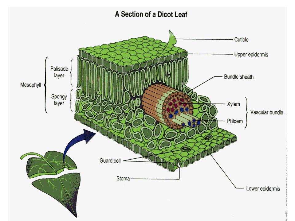 การดูดซึมน้ำของราก น้ำและแน่ธาตุจาก ดินจะถูกดูดซึมโดย ขนรากผ่านชั้นคอร์ เทกซ์จนถึงเอนโด เดอร์มีส โดย 2 วิธี คือ วิธีอะโพพลาสต์ (Apoplast) วิธี ซิมพลาสต์ (Symplast)