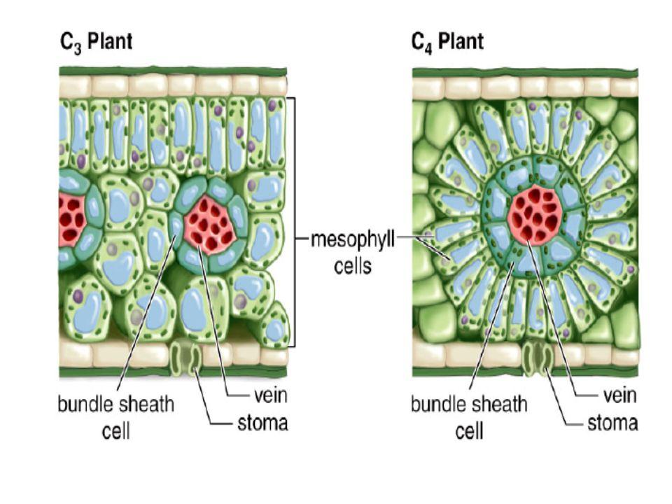 ใบพืช C3,C4,CAM CAMC4C3 ข้าว ต้น แก้ว ข้าวโ พด ข้าว ฟ่าง อ้อย สับปะ รด กุหลาบ หิน