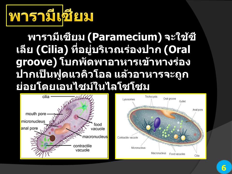 6 พารามีเซียม (Paramecium) จะใช้ซี เลีย (Cilia) ที่อยู่บริเวณร่องปาก (Oral groove) โบกพัดพาอาหารเข้าทางร่อง ปากเป็นฟูดแวคิวโอล แล้วอาหารจะถูก ย่อยโดยเ