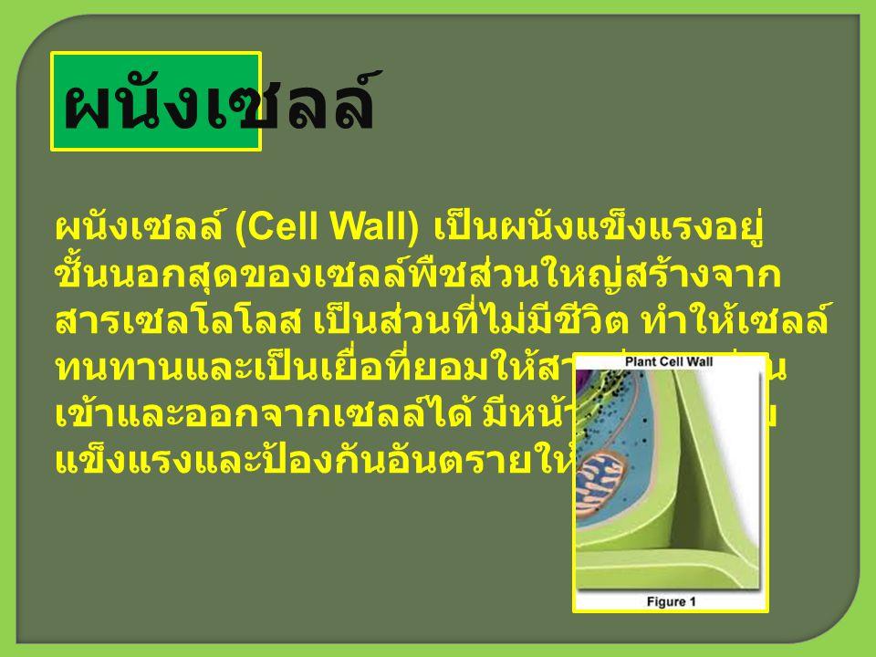 ผนังเซลล์ ผนังเซลล์ (Cell Wall) เป็นผนังแข็งแรงอยู่ ชั้นนอกสุดของเซลล์พืชส่วนใหญ่สร้างจาก สารเซลโลโลส เป็นส่วนที่ไม่มีชีวิต ทำให้เซลล์ ทนทานและเป็นเยื