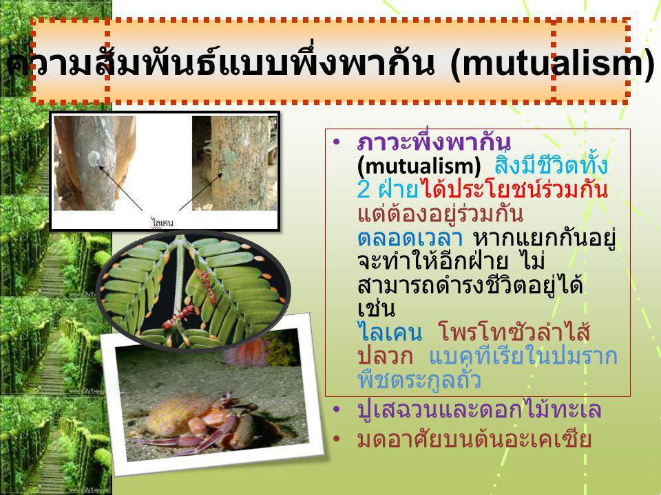• ภาวะพึ่งพากัน (mutualism) สิ่งมีชีวิตทั้ง 2 ฝ่ายได้ประโยชน์ร่วมกัน แต่ต้องอยู่ร่วมกัน ตลอดเวลา หากแยกกันอยู่ จะทำให้อีกฝ่าย ไม่ สามารถดำรงชีวิตอยู่ได้ เช่น ไลเคน โพรโทซัวลำไส้ ปลวก แบคทีเรียในปมราก พืชตระกูลถั่ว • ปูเสฉวนและดอกไม้ทะเล • มดอาศัยบนต้นอะเคเซีย ความสัมพันธ์แบบพึ่งพากัน (mutualism)