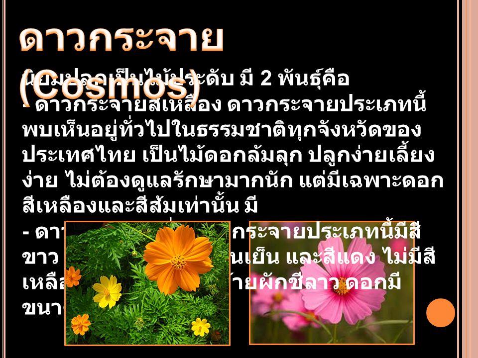 นิยมปลูกเป็นไม้ประดับ มี 2 พันธุ์คือ - ดาวกระจายสีเหลือง ดาวกระจายประเภทนี้ พบเห็นอยู่ทั่วไปในธรรมชาติทุกจังหวัดของ ประเทศไทย เป็นไม้ดอกล้มลุก ปลูกง่า
