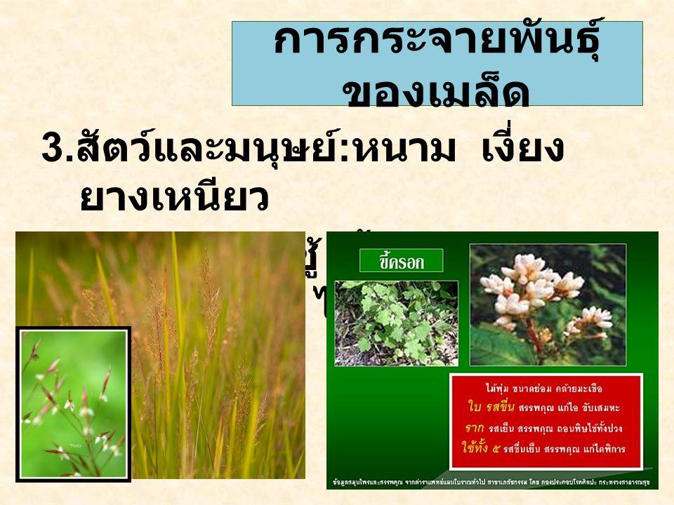 3. สัตว์และมนุษย์ : หนาม เงี่ยง ยางเหนียว เช่น หญ้าเจ้าชู้ ขี้ครอกหรือเป็น อาหาร เงาะ ไทร การกระจายพันธุ์ ของเมล็ด