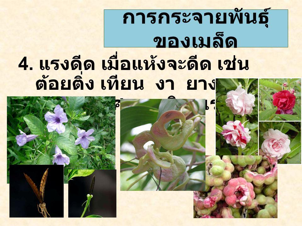 4. แรงดีด เมื่อแห้งจะดีด เช่น ต้อยติ่ง เทียน งา ยางพารา มะขามเทศ กระถินณรงค์ การกระจายพันธุ์ ของเมล็ด